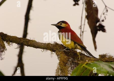 Crimson-Jaguaren Specht (Piculus Rivolii). Pichincha. ECUADOR-Südamerika - Stockfoto