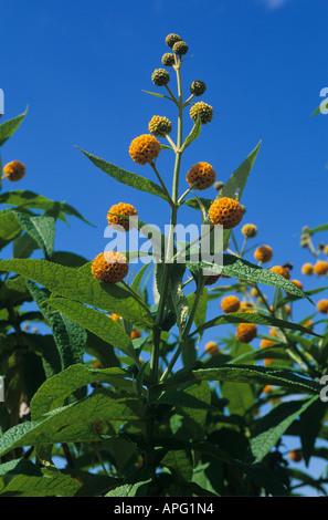 Sommerflieder Buddleja Globosa in Blüte gegen blauen Himmel - Stockfoto