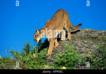 Puma, Berglöwen, Cougar (Puma Concolor, Profelis Concolor), Climping hinunter einen Rock, USA-Montana - Stockfoto