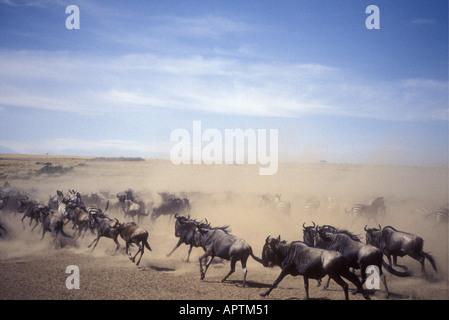 Im Galopp Gnus während der jährlichen Migration in die Masai Mara National Reserve Kenia in Ostafrika - Stockfoto