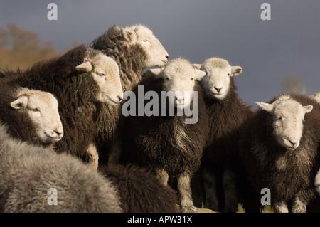 Herdwick Schafe auf Felsen im englischen Lake District - Stockfoto