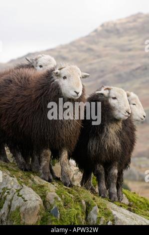 Herdwick Wetter Lämmer auf Felsen im englischen Lake District - Stockfoto