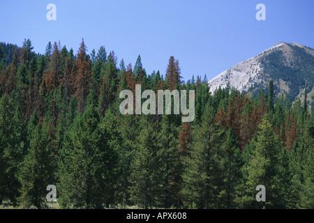 Toten Lodgepole Kiefern von der Kiefer-Borkenkäfer im Stanley-Becken von Sawtooth National Forest getötet - Stockfoto