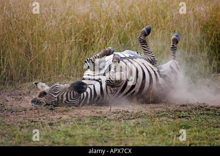 Burchells Zebra Rollen im Staub (Equus Burchelli) - Stockfoto