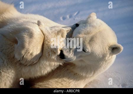Nahaufnahme der Eisbär Sau & Cub umarmen - Stockfoto