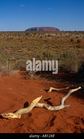 Montieren Sie Uluru, Uluru, Kata Tjuta Nationalpark, Northern Territory, Australien. Zweig des Baumes im Vordergrund. - Stockfoto
