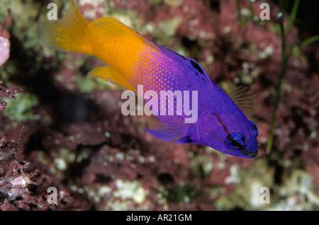 Fee Basslet Gramma Loreto Aquarium - Stockfoto