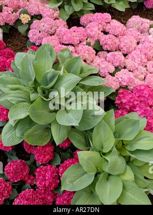 Wegerich Lily (Hosta) und Grossblättrige Hortensie (Hydrangea macrophylla) - Stockfoto