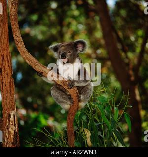 koala phascolarctos cinereus australien beuteltier. Black Bedroom Furniture Sets. Home Design Ideas
