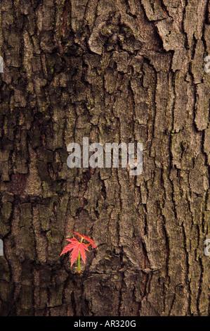 Silber Maple Leaf und Stamm (Acer Saccharinum), Saulsbury Brücke Recreation Area, Iowa USA - Stockfoto