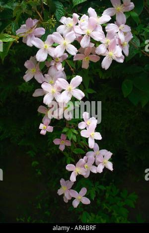 Ein Zweig der eine Clematis Montana Rubens hängen nach unten aus einem Garten Spalier. Rosa Blüten. Englischer Garten - Stockfoto