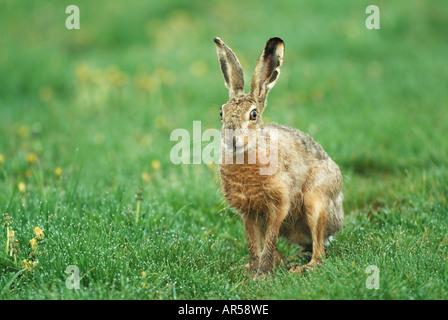 Braun Feldhase Lepus Europaeus, Feldhase, Deutschland - Stockfoto