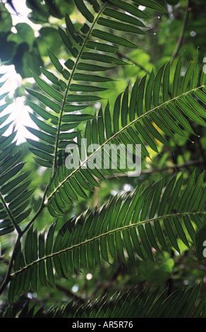 Silhouette Blätter im tropischen Regenwald, in der Nähe von Manoa Wasserfälle entlang Manoa fällt Trailhead, Honolulu, - Stockfoto