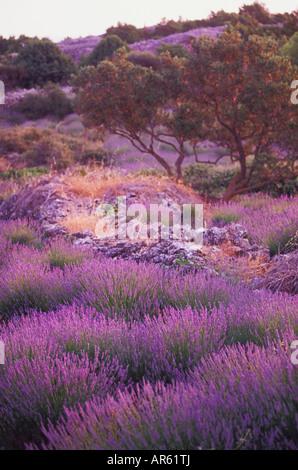 Lavendelfelder in der Nähe von Starigrad auf der Insel Hvar in Dalmatien Kroatien - Stockfoto