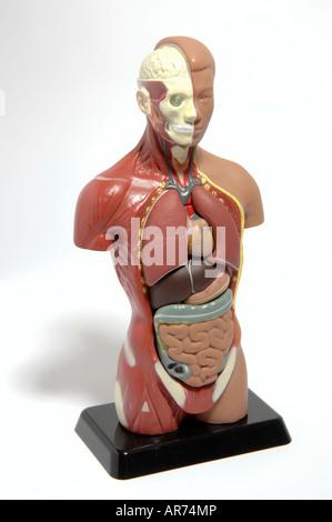 Anatomie-Puppe Stockfoto, Bild: 15960677 - Alamy