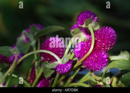 Globe Amaranth Gomphrena Globosa in einem Garten am späten Nachmittag durch einen einzigen Sonnenstrahl beleuchtet - Stockfoto