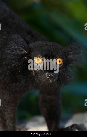 männliche schwarze Lemur, Eulemur Macaco Macaco, Nosy Komba, Madagaskar - Stockfoto