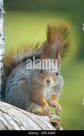 Europäische Eichhörnchen, Eichhörnchen Sciurus Vulgaris, Europa - Stockfoto