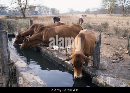 Rinder trinken an einem Wassertrog auf Delamere Anwesen in der Nähe von Lake Baringo in die Great Rift Valley in - Stockfoto
