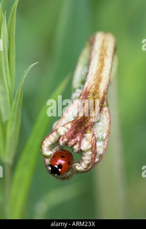 Sieben-Punkt-Marienkäfer (Coccinella Septempunctata), Lancashire, England, Vereinigtes Königreich, Europa - Stockfoto