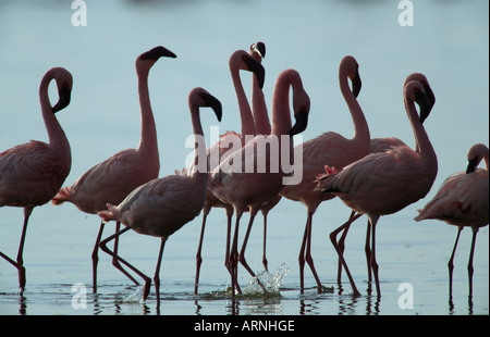 Kenia Lake Nakuru National Park Silhouette von weniger Flamingos Phoeniconaias minor - Stockfoto