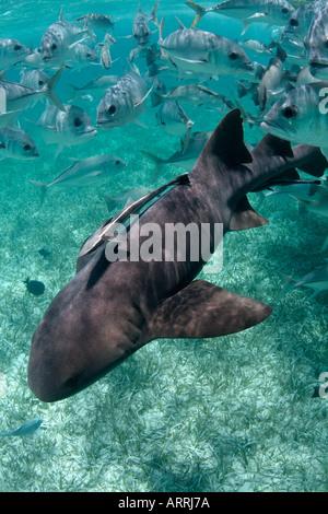 nr1176D. Atlantische Ammenhai, Ginglymostoma Cirratum. Belize, Karibik. Foto Copyright Brandon Cole - Stockfoto