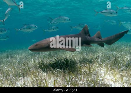 nr1209D. Atlantische Ammenhai, Ginglymostoma Cirratum. Belize, Karibik. Foto Copyright Brandon Cole - Stockfoto