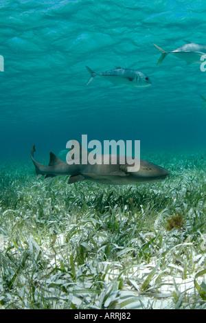 nr1210D. Atlantische Ammenhai, Ginglymostoma Cirratum. Belize Karibik. Foto Copyright Brandon Cole - Stockfoto