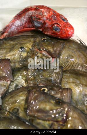 Ein einsamer roter Fisch auf einer Platte in einem Fischhändler-Shop auf vielen tristen braunen Fisch, Bretagne, - Stockfoto