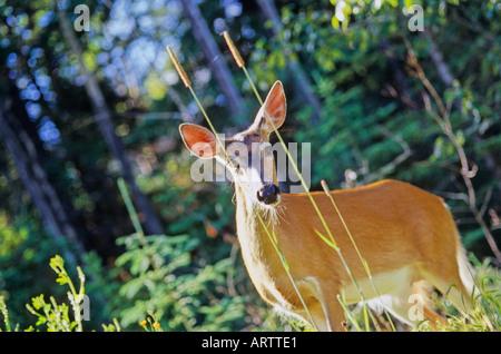 Whitetail Doe Deer 20 - Stockfoto