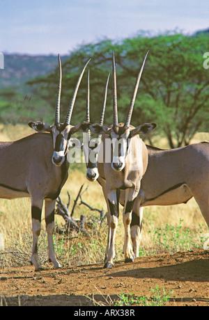 Drei Oryx Beisa Samburu National Reserve Kenia - Stockfoto