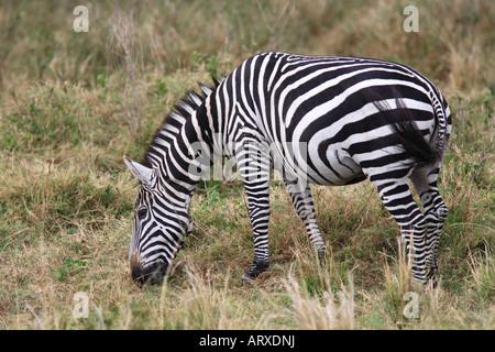 Das Grevy s Zebra (Equus Grevyi), manchmal bekannt als das kaiserliche Zebra ist die größte Art der Zebra. Man findet in der Masai Mara Reserve in Kenia Afrika