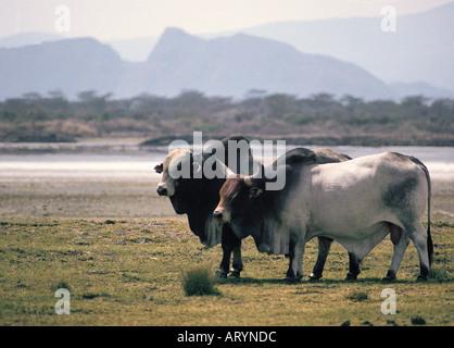 Stammbaum Stiere Delamere Estate Great Rift Valley Kenia in Ostafrika - Stockfoto