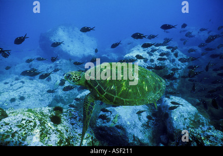 Grüne Meeresschildkröte Chelonia Mydas schwimmen über felsigen Riff Schule Demoiselle Fisch Raoul ist Kermadec Inseln - Stockfoto