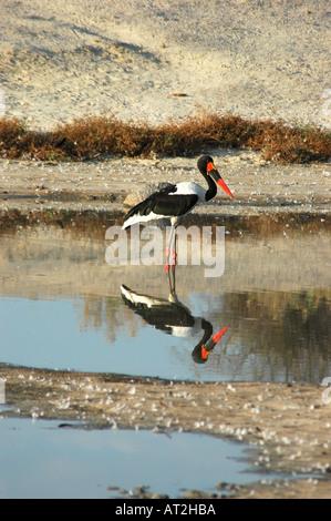 Sattel in Rechnung Storch Nahrung Senegalensis in den frühen Morgenstunden im Wasser im Okavango Delta-Botswana - Stockfoto