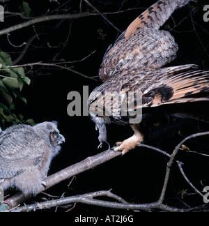 Moyen Duc au Nid Avec Les Jeunes lange eared Owl nähren seine junge im Nest Frankreich Aktion Aktionen Erwachsene - Stockfoto