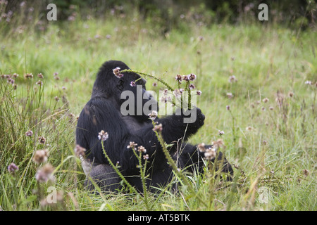 Zoologie/Tiere, Säugetiere, Säugetier/Hominidae, Berggorilla (Gorilla Gorilla beringei), Sitzen in der Wiese, Volvano - Stockfoto