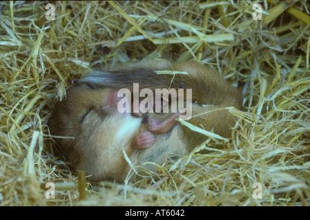 Siebenschläfer im Ruhezustand in einem Stapel von Stroh - Stockfoto