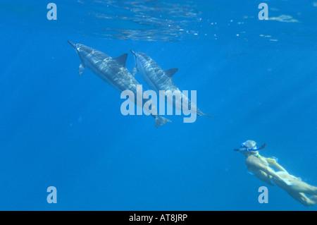 Schnorchler mit Hawaiian Spinner Delfinen; Stenella Longirostris - Stockfoto