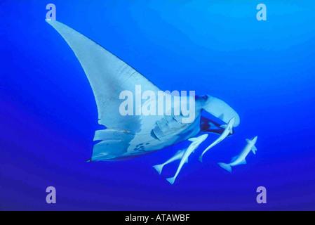 Manta Mantarochen Mit Schiffshaltern Begleiterfische Manta mit Remorais Manta Birostris Mobulidae Rotes Meer Ägypten - Stockfoto