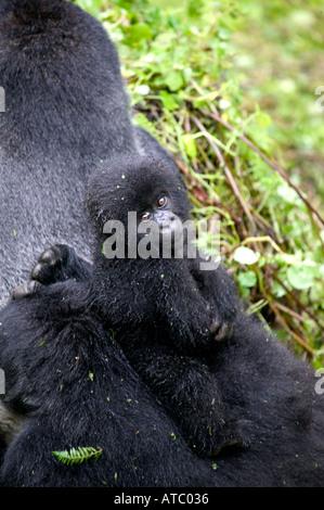 Ein junger männlicher Berggorilla Anhängekupplungen eine Fahrt auf Vaters Silberrücken im Volcanoes Nationalpark - Stockfoto
