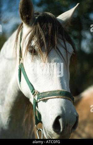 Blick in die Kamera, verkürzte Ansicht Pferd - Stockfoto