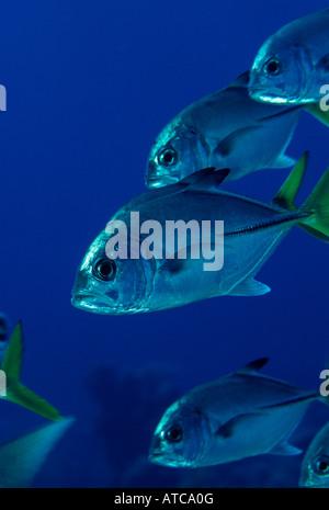 Horse Eye Jack Caranx Latus Karibik-British Virgin Islands - Stockfoto
