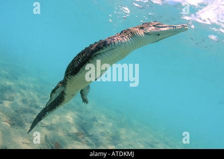 Salzwasser Krokodil Crocodylus Porosus Bismarc Meer-Papua-Neu-Guinea - Stockfoto