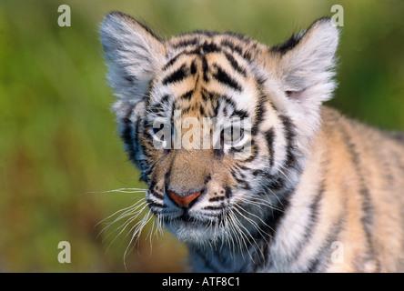 Bengal Tiger Cub in der Wiese Wildlife-Modell - Stockfoto