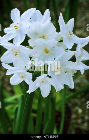 Narcissus \'Papierweiß\