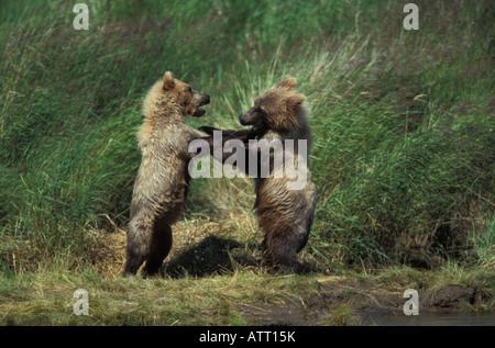 Braunbär Jungen kämpfen, Ursus Arctos. - Stockfoto