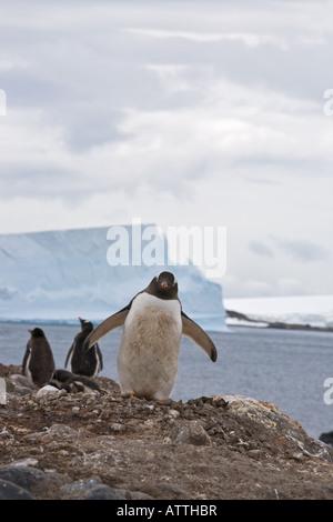 Große Mittel suchen Gentoo Penguin watscheln in Richtung Eindringling auf Barrientos Insel Antarktis mit Eisbergen - Stockfoto