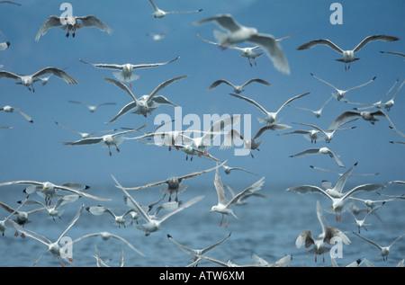 Möwen im Flug, Glaucous geflügelte Möwen, schwarz-legged Dreizehenmöwen. - Stockfoto