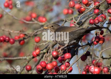 Weibliche Amsel Winter Obst zu essen - Stockfoto